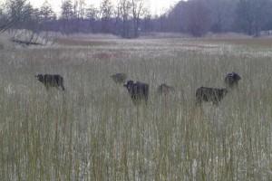 Wasserbüffel auf dem Nobitzer Teich