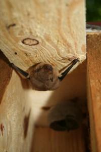 Fledermaus 2 klein