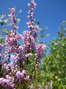 Heideblüte_2