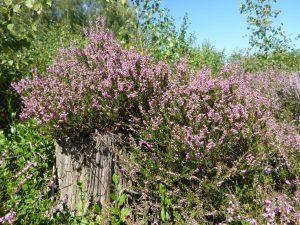 Heideblüte_verkleinert